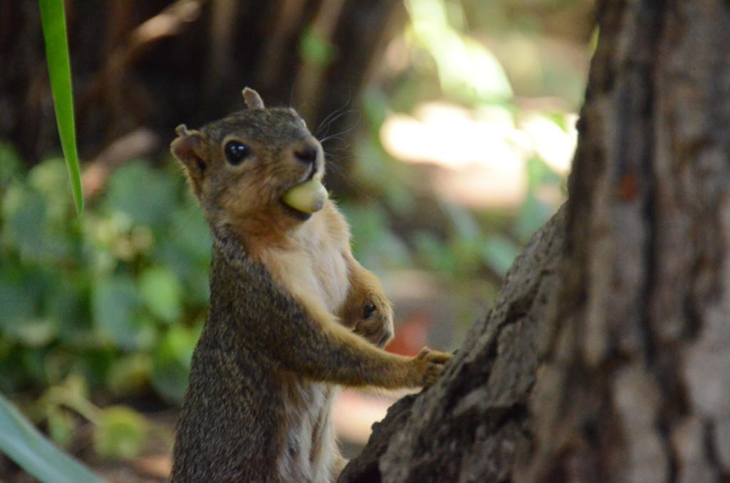 A fox squirrel finds a fallen nut around the trees surrounding the Quad. They will typically peel off the husk and eat it on the spot, or hop off to find a place to bury it, traveling as far as 100 meters to hide their catch.