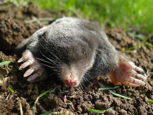 Holy moly! Rogue mole on the loose