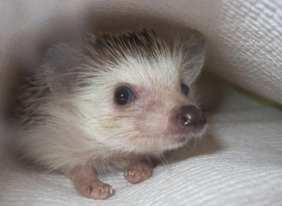 A lot of people have dogs and cats, [but having a hedgehog] is like going to the zoo every day,
