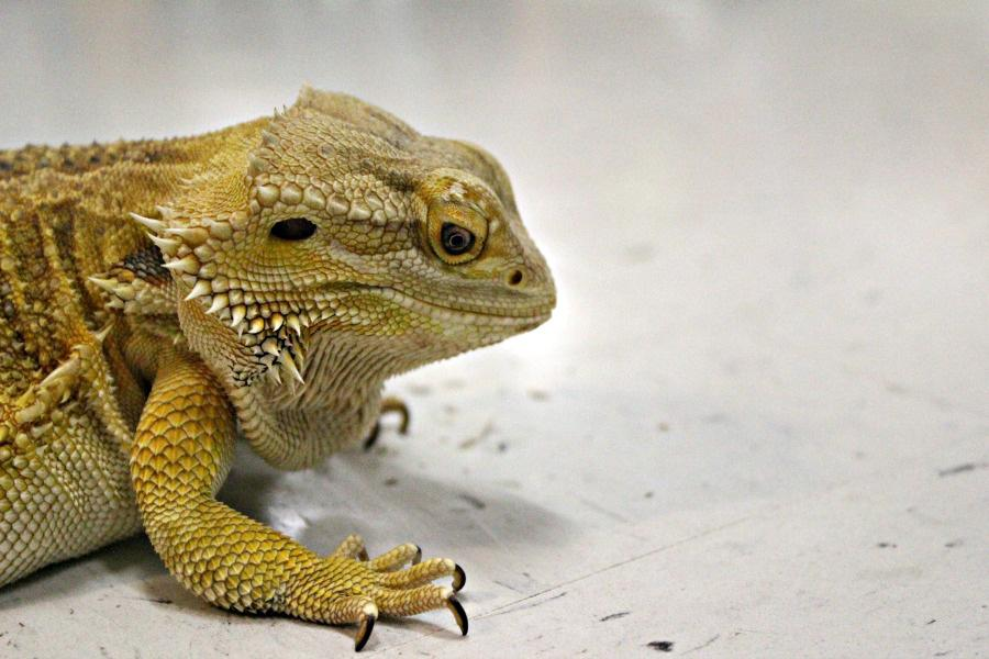 A+bearded+dragon+has+taken+up+residence+in+the+new+science+building%2C+becoming+the+mascot+of+the+biology+lab.