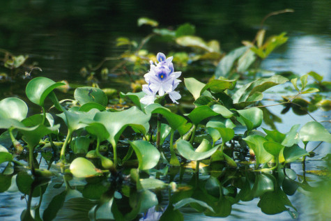 Water hyacinth creates trouble