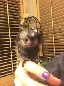 Finger monkey–Savanah