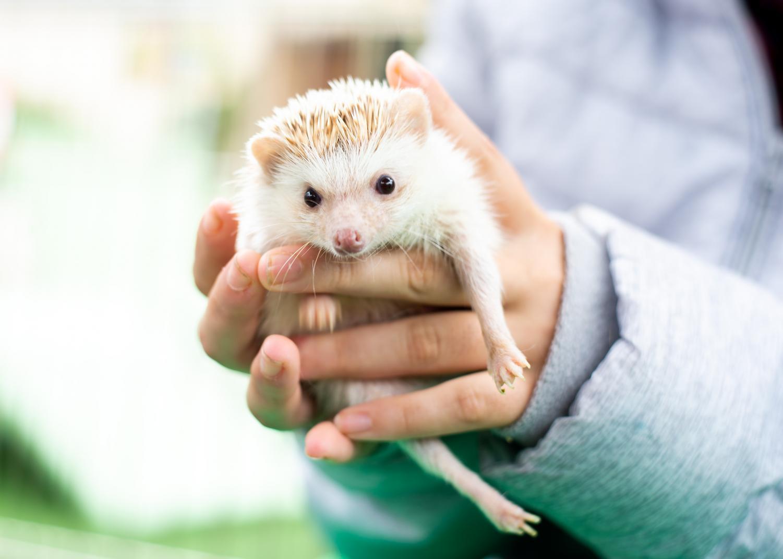 A pet zoo worker holds Cactus Jack, a nine-month-old hedgehog.