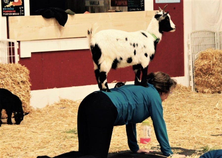 Goat yoga at Lemos Farm is a hit