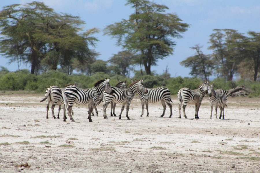 A+dazzle+of+zebra+spotted+by+students+during+their+two+day+safari+in+Tarangire+National+Park