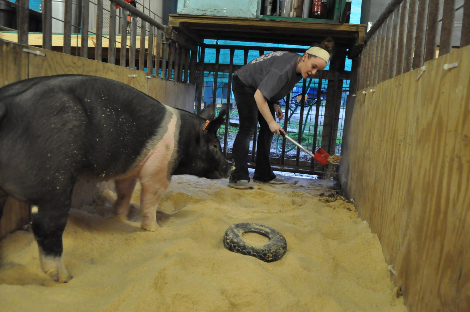 Senior Lauren Kocian cleans out her pig Ellie May's cage. She works with her animals before and after school.