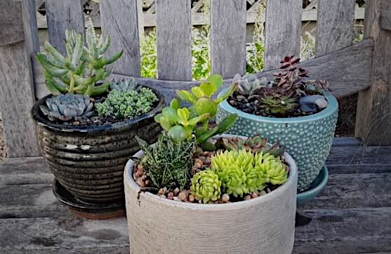 Succulents for Seniors Club reaches out to the elderly