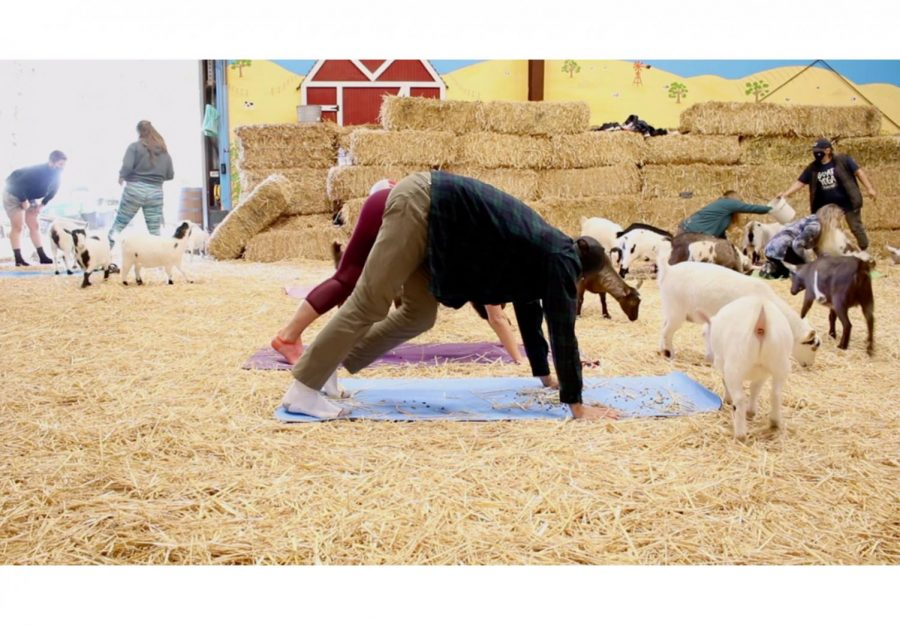 Lemos Farm's goat yoga relaxes community