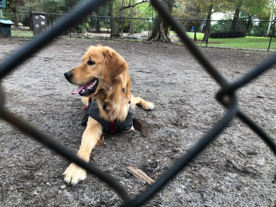 From Meat Market to Miami: Golden Retrievers Get a Second Chance